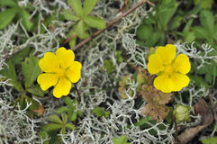 Creeping Cinquefoil royalty free stock photography