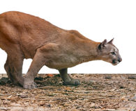 Creeping cougar, predatory Stock Images