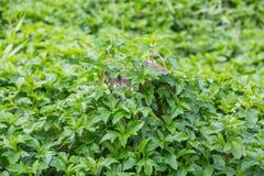 Creeping Daisy Royalty Free Stock Photo