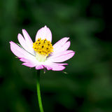 Creeping Daisy Stock Photography