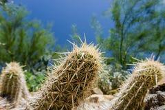 Creeping devil. Close-up of a creeping devil cactus in the Arizona desert Stock Photo