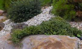 A creeping elm hanging from a quartzite stone made of rock carrion filled with marble crumb and pine bark.  stock photo