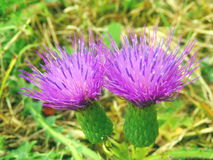 Creeping or Field Thistle Stock Photos