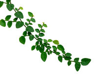 Creeping fig, Climbing fig, Ficus pumila isolated on white backg Royalty Free Stock Photo