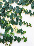 Creeping fig, Climbing fig, Ficus pumila on the wall Royalty Free Stock Photo