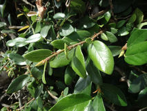 Creeping fig, climbing fig, Ficus pumila Royalty Free Stock Images