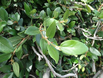 Creeping fig, climbing fig, Ficus pumila. Woody climber with small leaves on young plants, thicker and larger in older plants, pear shaped fruits Stock Images
