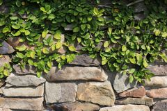 Creeping Fig Draping Over Stone Wall. A perfect background for film or graphic design. The fig vine is shaded well on the upper third and the stone makes a stock images