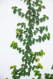 Creeping fig (Ficus pumila) Stock Image