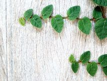 Creeping Fig Stock Photography