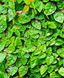 Creeping fig on wall Stock Photos