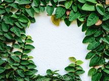 Creeping fig on the white wall Stock Photos