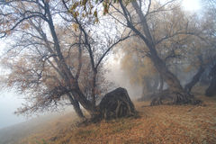 Creeping in a fog... Mystical fantastic picture-creeping in a fog old curve trees Stock Photography