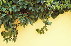 Creeping grape vine and canadian ivy on a wall. Creeping grape vine and canadian ivy on a yellow wall Stock Photos