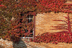 Creeping Ivey. Reddened Ivy covers a window and brick wall in Charlton, New York Stock Photo