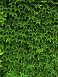 Creeping ivy. Ivy climbing up at a wall in the garden Royalty Free Stock Photography