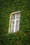Creeping Ivy Stock Image