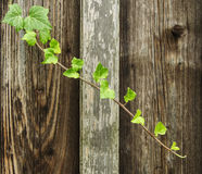 creeping ivy Stock Images