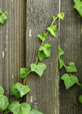 creeping ivy Stock Photography