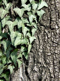 Creeping ivy on a tree. Creeping ivy on a rind tree in a sunny days Royalty Free Stock Images