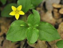 Creeping-jenny. Smalll yellow flower of Creeping-jenny - Lysimachia nummularia Royalty Free Stock Photos