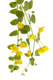 Creeping jenny Royalty Free Stock Images