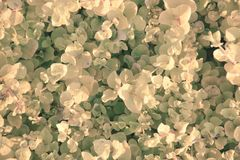 Creeping Jenny groundcover in vintage colors. Creeping Jenny ground cover background, vintage or antique toned stock photo