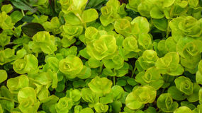 Creeping Jenny Plant. Lysimachia Nummularia Aurea, Yellow Creeping Jenny, is a fast-growing perennial groundcover Royalty Free Stock Photo