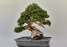 Creeping Juniper Bonsai Stock Photos