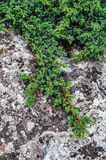 Creeping juniper Stock Image
