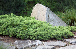 Creeping juniper Royalty Free Stock Images