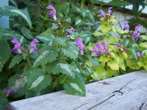 Creeping Lamium boarder planted stock image