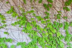 Creeping Leaves Stock Photography