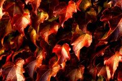 Creeping leaves Royalty Free Stock Photos
