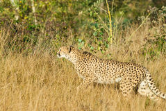 Creeping leopard Stock Image