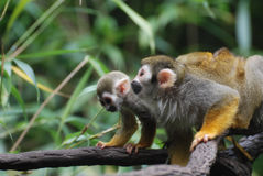 Creeping Mother and Baby Squirrel Monkey on a Vine royalty free stock image