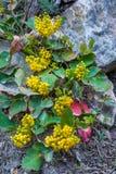 Creeping Oregon Grape Holly. Vertical Composition of Yellow Flowers of Creeping Oregon Grape Holly In Great Basin National Park, Nevada Stock Photo