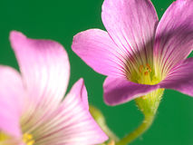 Creeping oxalis Royalty Free Stock Photo