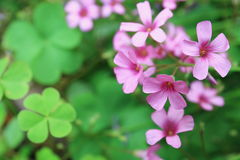 Creeping oxalis Royalty Free Stock Images