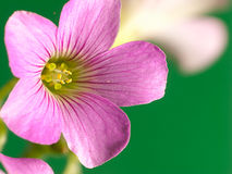 Creeping oxalis with nice background color Royalty Free Stock Image