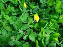 Plant of the genus Arachis with pale to lemon yellow pea-type flower. The creeping peanut is a genus of flowering plants in the family Fabaceae, with small Royalty Free Stock Image
