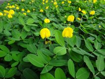 Plant of the creeping peanut with small yellow flowers. The creeping peanut is a genus of flowering plants in the family Fabaceae, with small yellow flowers, and Royalty Free Stock Photos