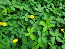 Plant of the creeping peanut with small yellow flowers. The creeping peanut is a genus of flowering plants in the family Fabaceae, with small yellow flowers, and Stock Photos