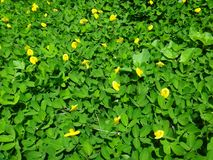 Plant of the creeping peanut with small yellow flowers. The creeping peanut is a genus of flowering plants in the family Fabaceae, with small yellow flowers, and Royalty Free Stock Photography