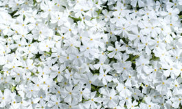 Creeping phlox Royalty Free Stock Photos