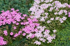 Creeping Phlox. Pink and white variegated creeping phlox with green groundcover background Stock Photo