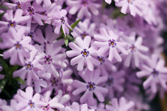 Creeping phlox Stock Photography