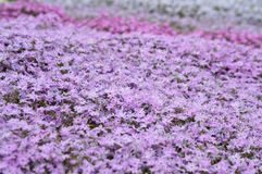 Creeping Phlox Background Royalty Free Stock Image