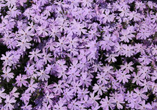 Creeping phlox flower background Stock Photography