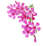 Creeping Phlox Flowers Stock Photo